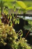 Moss - Bryum Capillare Stock Image