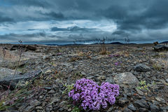 Moss Campion on Barren Soil Royalty Free Stock Photos