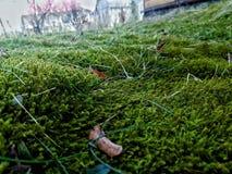 Moss. Carpet of moss Stock Photos