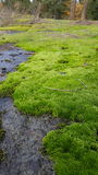 Moss Carpet Fotos de Stock Royalty Free