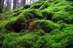 Moss carpet. Forest in National Park Czech Switzerland Royalty Free Stock Photography