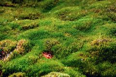 Moss carpet formed in the Arctic at northernmost limits of life. Moss carpet formed in the Arctic at the northernmost limits of life, archipelago of Franz Joseph Royalty Free Stock Image