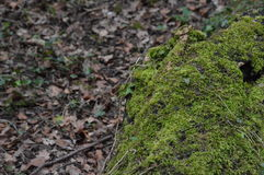 Moss carpet. Moss taking over a fallen tree Royalty Free Stock Photography