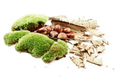 Moss and chestnuts Stock Photos