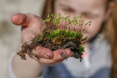 Moss in a child`s hand royalty free stock photography