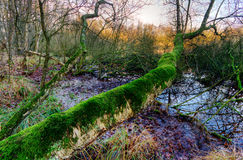 Moss clad tree. Moss clad Birch tree in a swamp Royalty Free Stock Images