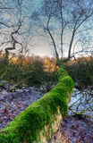 Moss clad tree. Moss clad Birch tree in a swamp Stock Photo