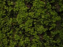 Moss at close range Royalty Free Stock Photos