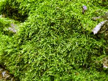Moss close-up Stock Photos