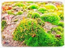 Moss. Close up moss Royalty Free Stock Photos