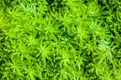 Moss in close up Royalty Free Stock Photos