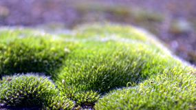 Moss close-up. Close-up of moss in a fence Royalty Free Stock Image