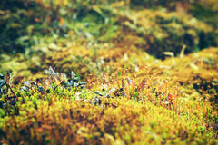 Moss close-up royalty free stock photography