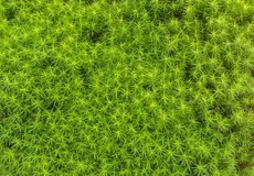 Moss close up Royalty Free Stock Image