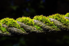 Moss close up. Moss growth on a rope high magnification macro Royalty Free Stock Photography