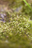 Moss close-up Royalty Free Stock Photos
