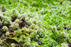 Moss close up Royalty Free Stock Images