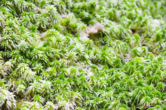 Moss close up Stock Photography