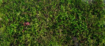 Moss. Moss close up. The view from the top Royalty Free Stock Photo
