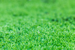 MOSS - Closed up/macro shot of mossy of the tropical kind. Royalty Free Stock Photo
