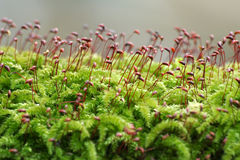 Moss closeup Royalty Free Stock Image