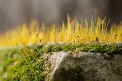 Moss Closeup Royaltyfri Bild