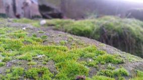 Moss Closeup Fotografie Stock