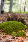 Moss closeup Stock Photography