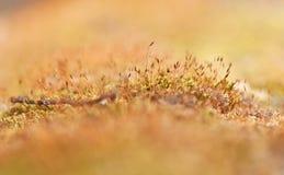 Moss closeup Royalty Free Stock Image