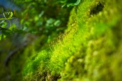 Moss Closeup Royalty Free Stock Photography