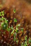 Moss closeup Stock Image