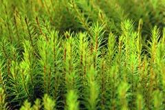 Moss closeup on the Yamal Peninsula Stock Photos
