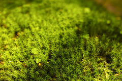 Moss and clover. In the forest mountain royalty free stock photos