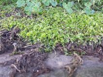 Moss and clovers. Close up of Moss and clovers  on stone wall Royalty Free Stock Images