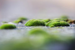Moss clusters on the pavement Royalty Free Stock Photography