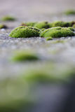 Moss clusters on the pavement Stock Photos