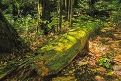Moss Colvered Log i skogen Royaltyfria Foton