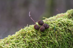 Moss and cones Stock Image