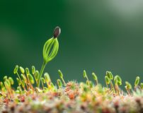 Moss and conifer seedling Royalty Free Stock Photo