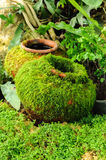 Moss cover clay jar. Royalty Free Stock Images