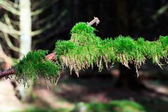 Moss coverd branch. Branch covered with green moss in the woods royalty free stock images