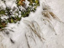 Moss coverd by snow on the surface of the tree. Moss growing on a tree. Close-up.  stock photo
