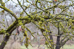 Moss-covered apple-tree bench Royalty Free Stock Images