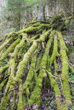Moss covered branches Royalty Free Stock Photography