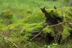 Moss Covered Branches. In the forest royalty free stock images