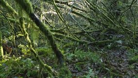 Moss Covered Branches, Rainforest. A decaying branches, covered in moss, in a Pacific Northwest rainforest stock footage