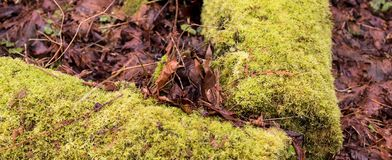 Moss covered fallen logs with brown decaying fallen leaves stock image