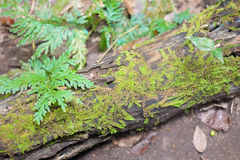 Moss Covered Fallen Trees and Ferns. In forest royalty free stock images