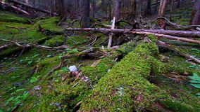 Moss Covered Forest Montana Stock Photo