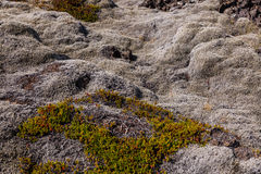 Moss covered lava field Royalty Free Stock Image